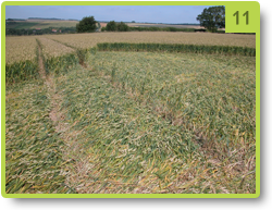 Row of straightened stems - Lockeridge - July 2008